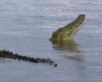 Coccodrillo nel Lago Chamo Parco di Nechsar  / Foto n. 0028b