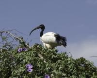 Ibis sacro al Lago di Zuway / Foto n. 0008