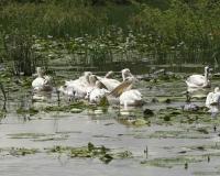 Pellicani al Lago di Zuway / Foto n. 0015