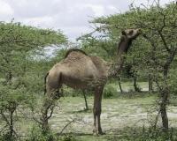 Dromedari vicino parco del Lago di Abijata Shalla / Foto n. 0017