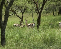 Gazzelle di Grant parco di Abijata Shalla / Foto n. 0054