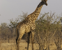 Giraffa . Giraffa camelopardalis . Giraffe Foto AOK n. 5437