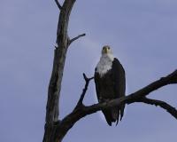 Aquila pescatrice - Haliaeetus vocifer - Eagle Fish Foto AOK n. 5452