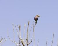 Ghiandaia marina pettolilla  - Coracias caudatus-Lilac Breasted Roller Foto AOK n. 5499