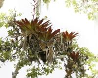 Orchidea nella Fortezza di Kuelap Foto n. AOK1682