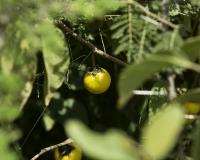 Pomo di Sodoma- Solanum linnaeanum Kenya Foto n. POA0270