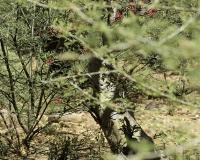 Rosa del Deserto - Desert Rosee Tree - Adenium obesum dopo Lomut Kenya Foto n. POA500